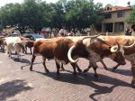 Fort Worth Stockyards famous cattle drive 7.4.2014